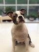 Boston Terrier Puppy For Sale in ROCHESTER, WA, USA