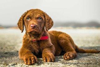 Chesapeake Bay Retriever Puppy For Sale in FERNANDINA BEACH, FL