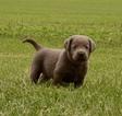 Labrador Retriever Puppy For Sale in BUFFALO, Illinois,