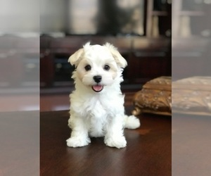 Maltese Dog for Adoption in JACKSONVILLE, Florida USA