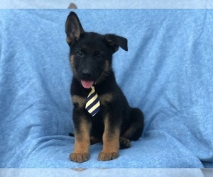 German Shepherd Dog Puppy for sale in CEDAR LANE, PA, USA
