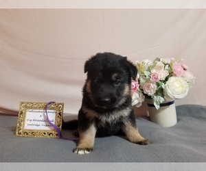 German Shepherd Dog Puppy for sale in KENBRIDGE, VA, USA