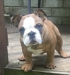 English Bulldog Puppy For Sale in MATTHEWS, NC, USA