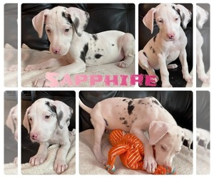 Great Dane Puppy for sale in KANSAS CITY, MO, USA