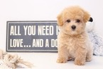 Poochon Puppy For Sale in NAPLES, FL