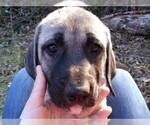 Anatolian Shepherd Puppy For Sale in MAPLE VALLEY, WA, USA