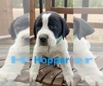 Puppy 5 Great Pyredane