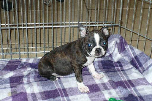 Boston Terrier Puppy for Sale near Arizona, TUCSON, USA ...