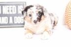 Australian Shepherd Puppy For Sale in NAPLES, FL, USA