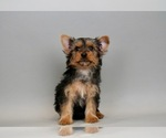 Puppy 4 Yorkshire Terrier