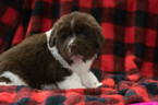 Newfoundland Puppy For Sale in CUYAHOGA FALLS, OH, USA