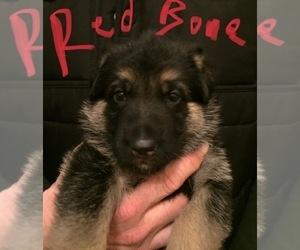 German Shepherd Dog Puppy for sale in SOUTH BELOIT, IL, USA