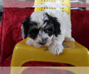 Coton de Tulear Puppy for sale in TOLEDO, OH, USA