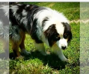 Father of the Australian Shepherd puppies born on 09/04/2020
