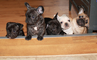 French Bulldog Puppy For Sale in LANTON, MO, USA