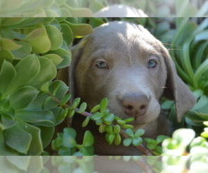 Labrador Retriever Puppy for Sale in CERES, California USA