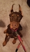 Doberman Pinscher Puppy For Sale in HARRISBURG, PA,