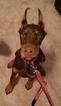 Doberman Pinscher Puppy For Sale in HARRISBURG, PA, USA