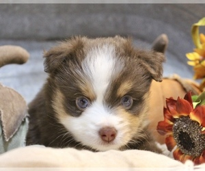 Miniature Australian Shepherd Puppy for sale in HILLSBORO, KS, USA