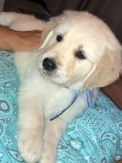 Golden Retriever Puppy For Sale in WINTHROP, IA, USA