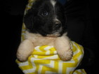 Puppy 6 Newfoundland