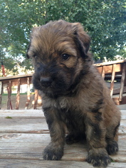 View Ad Bouvier Des Flandres Litter Of Puppies For Sale Near