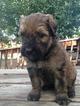 Puppy 9 Bouvier Des Flandres