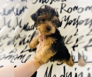 Morkie Puppy for sale in LOWELL, MA, USA