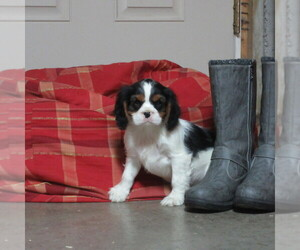 Cavalier King Charles Spaniel Puppy for Sale in REINHOLDS, Pennsylvania USA