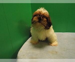 Shih Tzu Puppy for sale in PATERSON, NJ, USA
