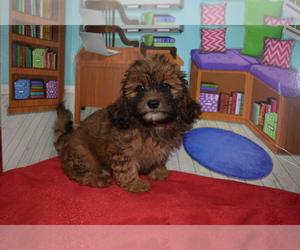 Shih Tzu Dog for Adoption in BARNESVILLE, Kansas USA