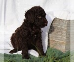 Puppy 9 Poodle (Standard)