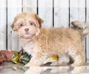 Havanese Dog for Adoption in MOUNT VERNON, Ohio USA