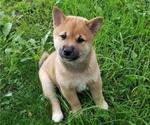 Puppy 5 Shiba Inu