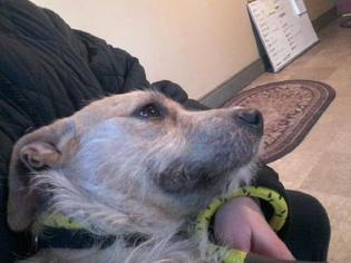 Gus  (NOMEY) - Terrier / Mixed (medium coat) Dog For Adoption