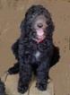 Poodle (Standard) Puppy For Sale in FAYETTEVILLE, TX, USA