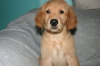Golden Retriever Puppy For Sale in DAVENPORT, FL, USA