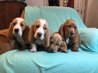 Basset Hound Puppy For Sale in DARLINGTON, MD, USA