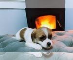 Puppy 5 Jack Russell Terrier-Shih Tzu Mix