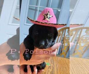 Labrador Retriever Puppy for Sale in NEWVILLE, Pennsylvania USA