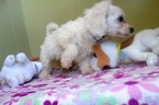 Bichon Frise Puppy For Sale in PATERSON, NJ, USA
