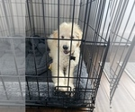 Small #4 Goldendoodle Mix
