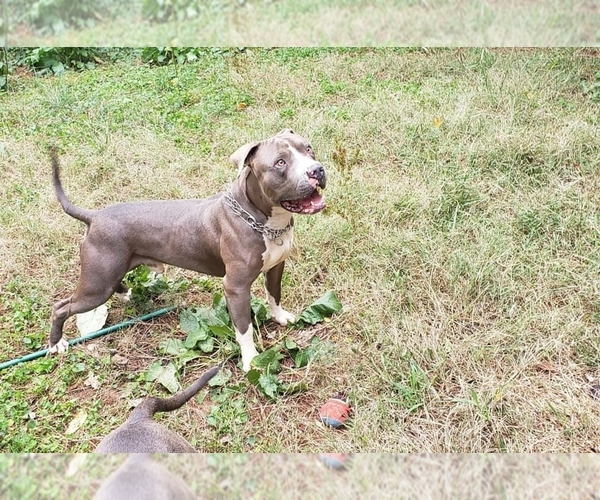 View Ad: American Pit Bull Terrier Litter of Puppies for Sale In Denmark