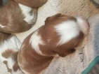 Cavalier King Charles Spaniel Puppy For Sale in FREDERICK, MD