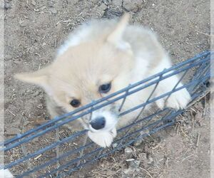 Pembroke Welsh Corgi Puppy for Sale in KINGMAN, Arizona USA