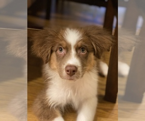 Australian Shepherd Puppy for sale in EXETER, CA, USA