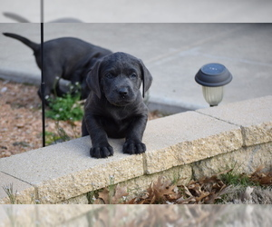 Labrador Retriever Puppy for Sale in DENTON, Texas USA