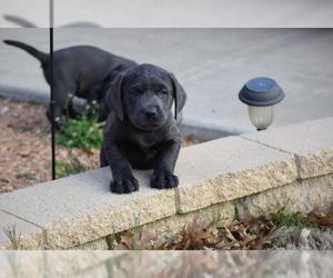 View Ad Labrador Retriever Litter Of Puppies For Sale Near Texas