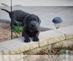 Labrador Retriever Puppy For Sale in DENTON, TX, USA