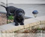 Labrador Retriever Puppy For Sale in DENTON, TX, USA